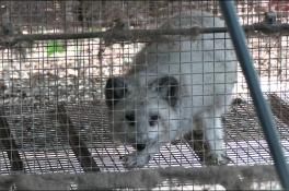 Nertsenfokker geeft vossen aan Animal Rights, dierenarts gaat ze nakijken