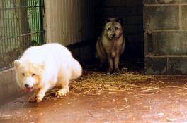 Poolvossen uit nertsenfokkerij twee weken onder de pannen in Zoo Veldhoven